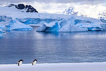 Gentoo penguins (Pygoscelis papua), Cuverville Island, Errera Channel, Danco Coast, Antarctic Peninsula, Antarctica, Polar Regions