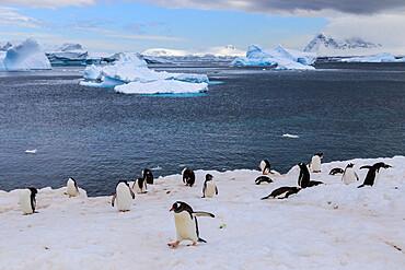 Gentoo penguins (Pygoscelis papua) come ashore, Cuverville Island, Errera Channel, Danco Coast, Antarctic Peninsula, Antarctica, Polar Regions