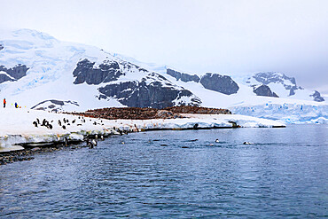 Gentoo penguins (Pygoscelis papua) and expedition tourists on Cuverville Island, Danco Coast, Antarctic Peninsula, Antarctica, Polar Regions