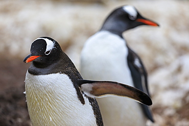 Gentoo penguins (Pygoscelis papua), Gonzalez Videla Station, Waterboat Point, Paradise Bay, Antarctica, Polar Regions