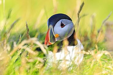 Atlantic puffin (Fratercula arctica), Sumburgh Head, South Mainland, Shetland Islands, Scotland, United Kingdom, Europe