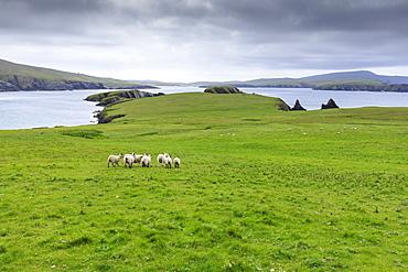 St. Ninian's Isle, sheep and spectacular cliff scenery, South West Mainland, Shetland Islands, Scotland, United Kingdom, Europe