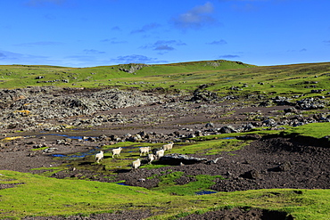 Shetland sheep, Villians of Hamnavoe, cliff tops shaped by storm deposits, Eshaness, Northmavine, Shetland Isles, Scotland, United Kingdom, Europe