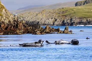 Common seals, harbour seals, hauled out on rocks, turquoise sea, Scousburgh Sands, South Mainland, Shetland Isles, Scotland, United Kingdom, Europe