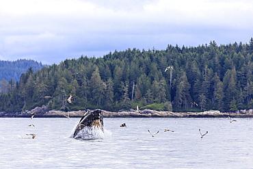 Humpback whale (Megaptera novaeangliae), feeding at the surface, Alert Bay, Inside Passage, British Columbia, Canada, North America