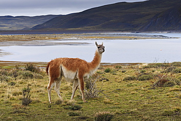 Guanaco (Lama guanicoe) on lake foreshore,Torres del Paine National Park, Patagonia, Chile, South America