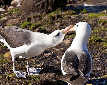 Black-browed albatross (Thalassarche melanophrys) adult bonding behaviour, the Neck, Saunders Island, Falkland Islands, South America