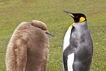 King penguin (Aptenodytes patagonicus) with chick, inland, the Neck, Saunders Island, Falkland Islands, South America