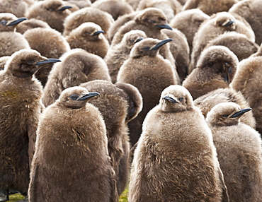 King penguin (Aptenodytes patagonicus) chick creche, Volunteer Point, East Falkland, Falkland Islands, South America
