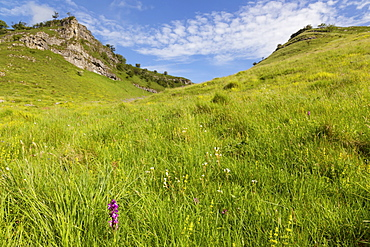 Early purple orchid (Orchis mascula) in the Lathkill Dale National Nature Reserve, Monyash, Peak District, Derbyshire, England, United Kingdom, Europe