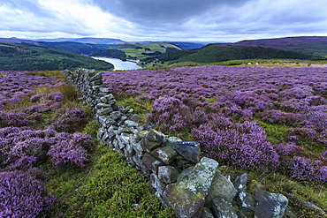 Heather covered Bamford Moor, dry stone wall and Ladybower Reservoir at dawn in summer, Peak District, Derbyshire, England, United Kingdom, Europe