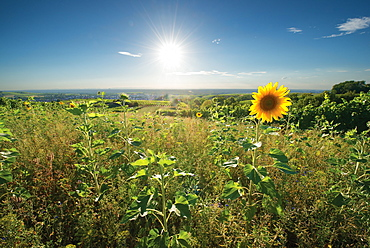 Sunflowers in the vineyards near Rauenberg, Baden-Wurttemberg, Germany, Europe