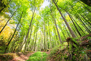 Fresh greens and a grassy path in a light-filled German forest, Baden-Wurttemberg, Germany, Europe - 1171-225