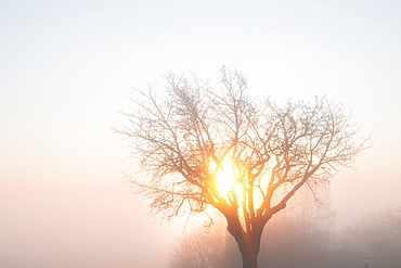 Tree, mist and morning sun in winter, Baden-Wurttemberg, Germany, Europe