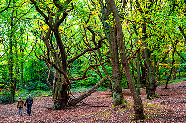 Hampstead heath, Beech tree woodland in Autumn, pedestrians walking through the trees, Fall colours