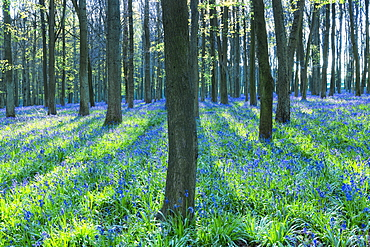 Ancient bluebell woodland in spring, Dockey Wood, Ashridge Estate, Berkhamsted, Hertfordshire, England, United Kingdom, Europe