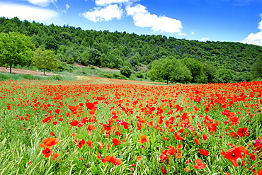 Poppy fields near Covarrubias, Castile and Leon, Spain Europe