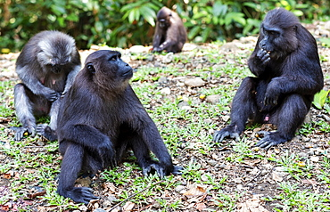 Celebes macaque monkeys in the forest, Manusela National Park, Seram Island, Moluccas (Maluku), Indonesia, Southeast Asia, Asia