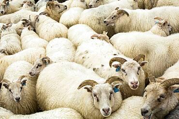 Full frame view of flock of sheep