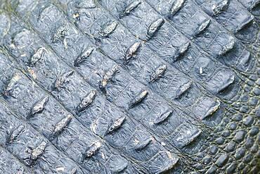 Close up of rough alligator skin