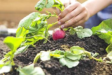 Caucasian boy picking radish in garden