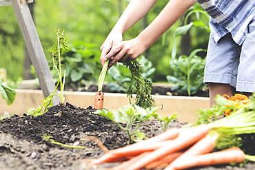 Caucasian boy picking carrots in garden