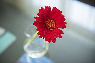 Close up of red blooming flower in vase