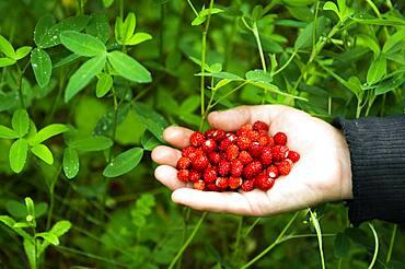 Hand of Caucasian woman holding berries