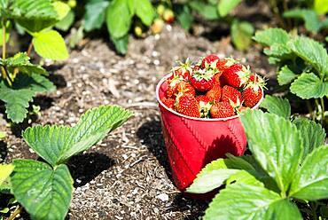 Bucket of strawberries in garden