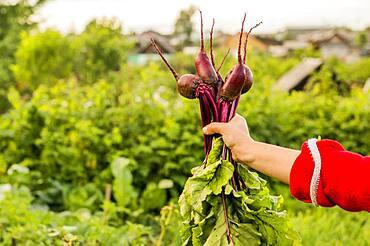 Caucasian farmer holding fresh beets in garden