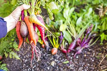 Caucasian farmer holding fresh vegetables in garden