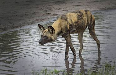 Hyena walking in water hole