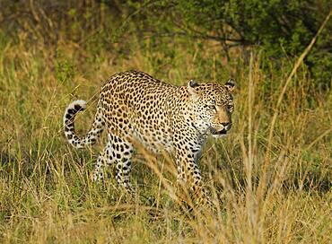 Leopard walking in tall grass