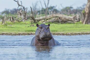 Hippopotamus swimming in remote water hole