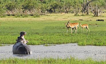 Hippopotamus roaring at antelope in remote water hole