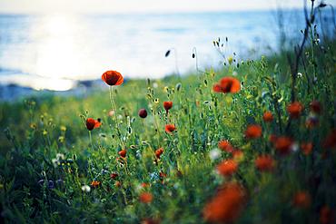 Close up of poppy field