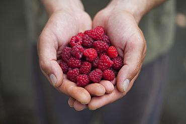 Hands of woman holding raspberries
