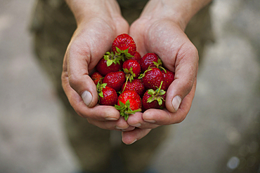 Hands of woman holding strawberries