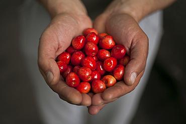 Hands of woman holding cherries