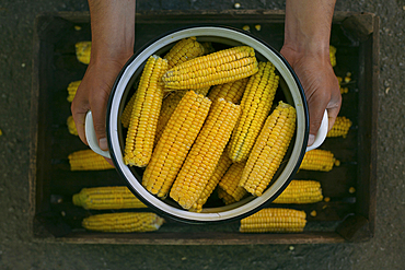 Hands holding a pot of corn on cob