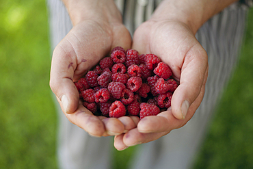 Hands holding raspberries