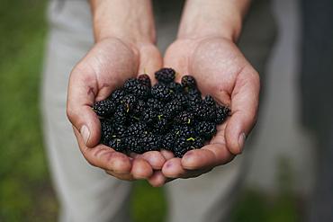Hands holding blackberries
