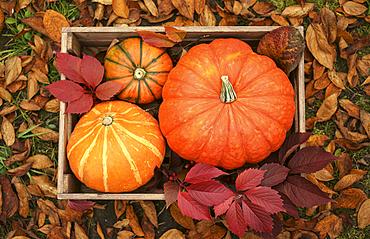Pumpkins in wooden crate
