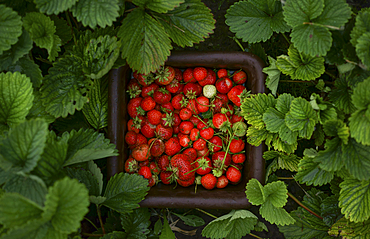 Close up of strawberries in basket