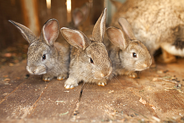 Close up of rabbits on wooden floor