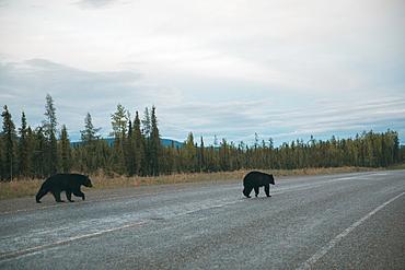 Bears crossing road