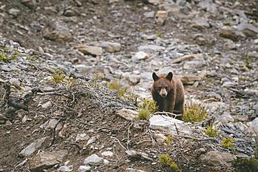 Bear climbing on rocks