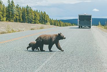 Bear and cub crossing street behind truck