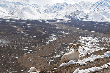 Ram relaxing on snowy mountain