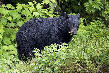 Wet bear eating foliage